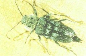 Borers And Furniture Beetles In Melbourne